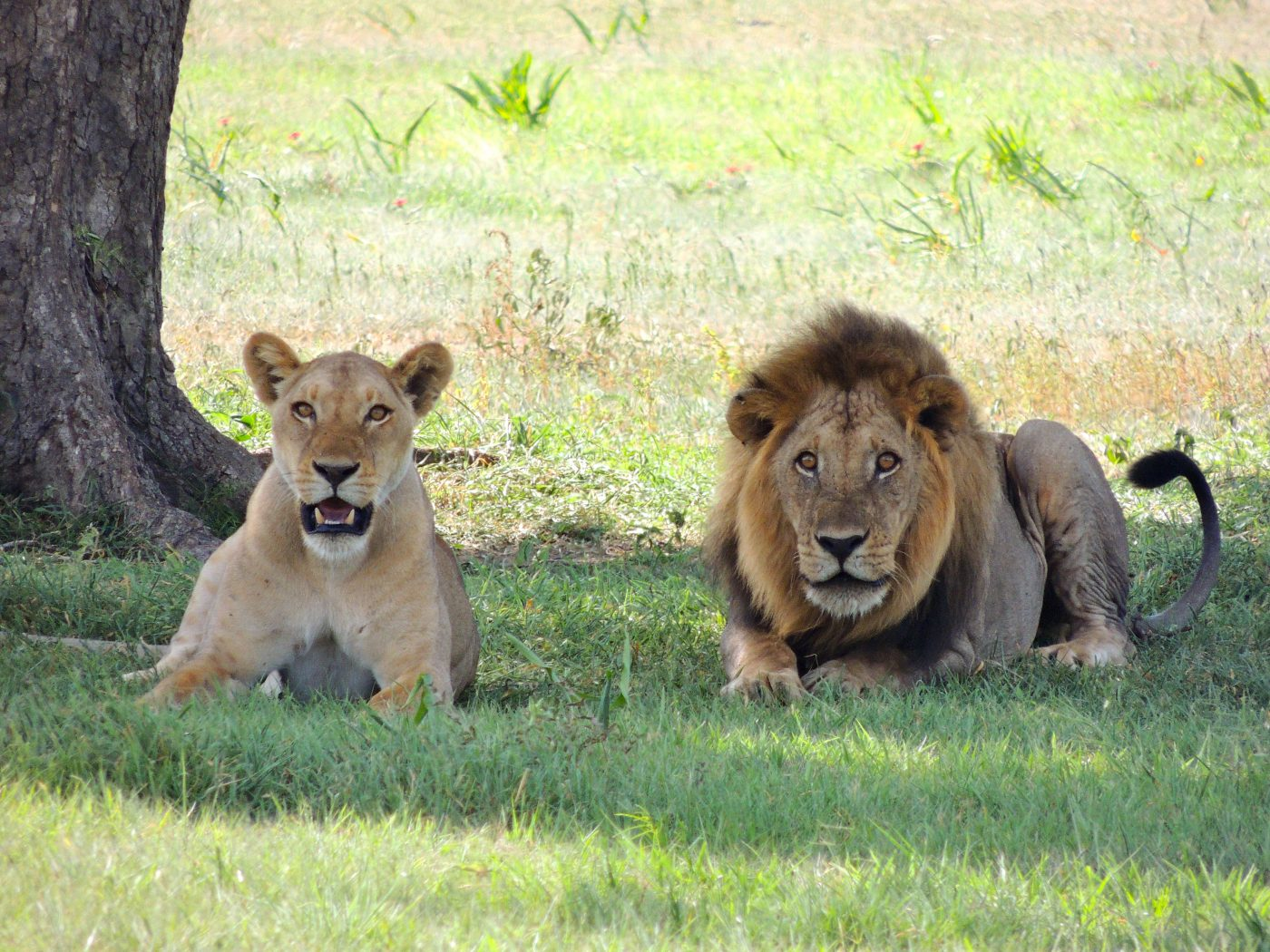 Africa Lion Safaris, Kenya; Top Africa Lion Tours Parks