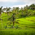 Bali - Rice fields