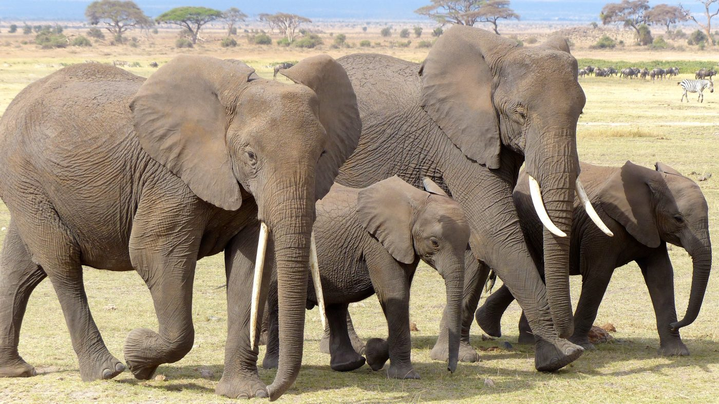 Africa - Safari elephants