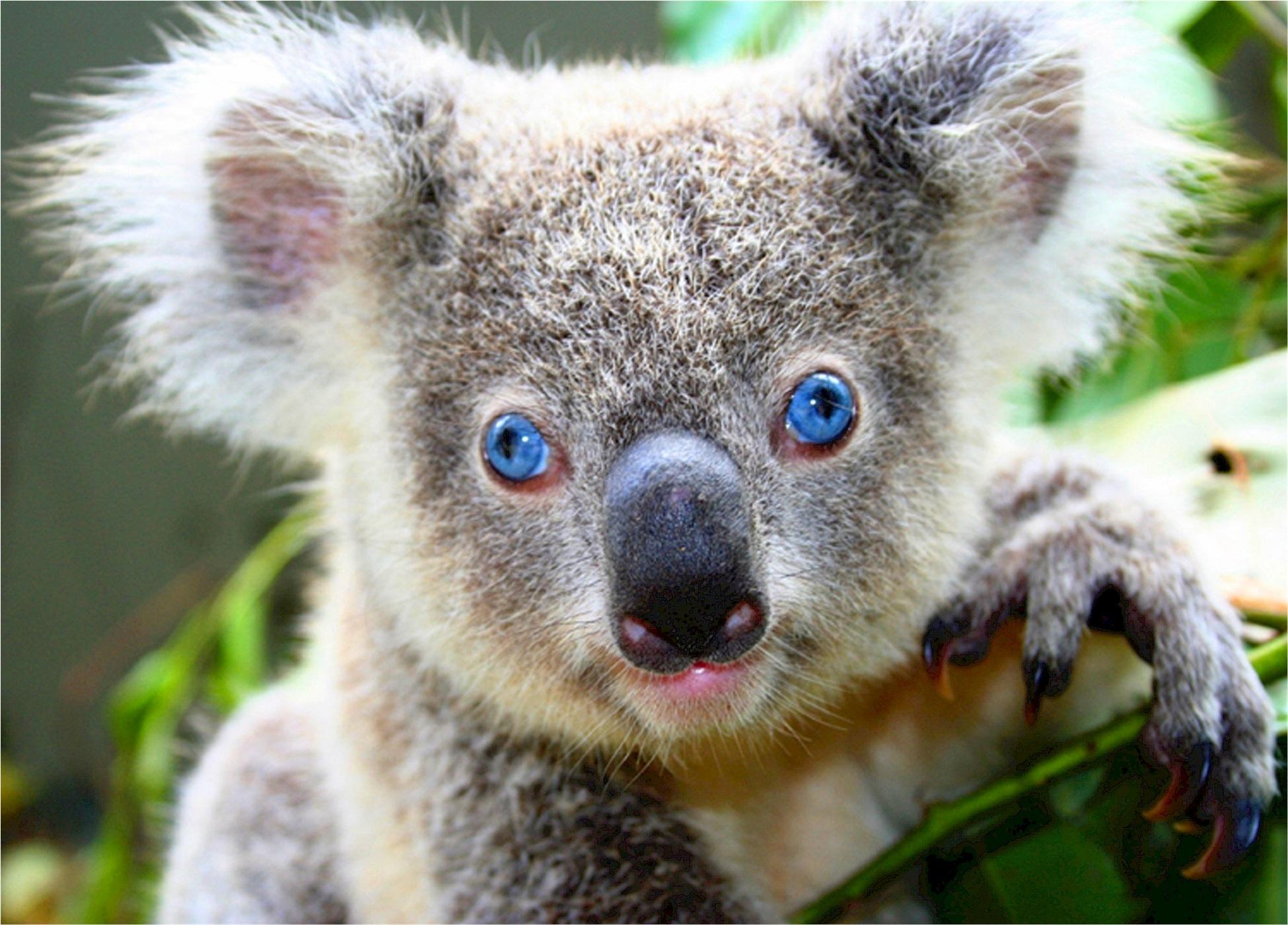 Koala bear - Australia