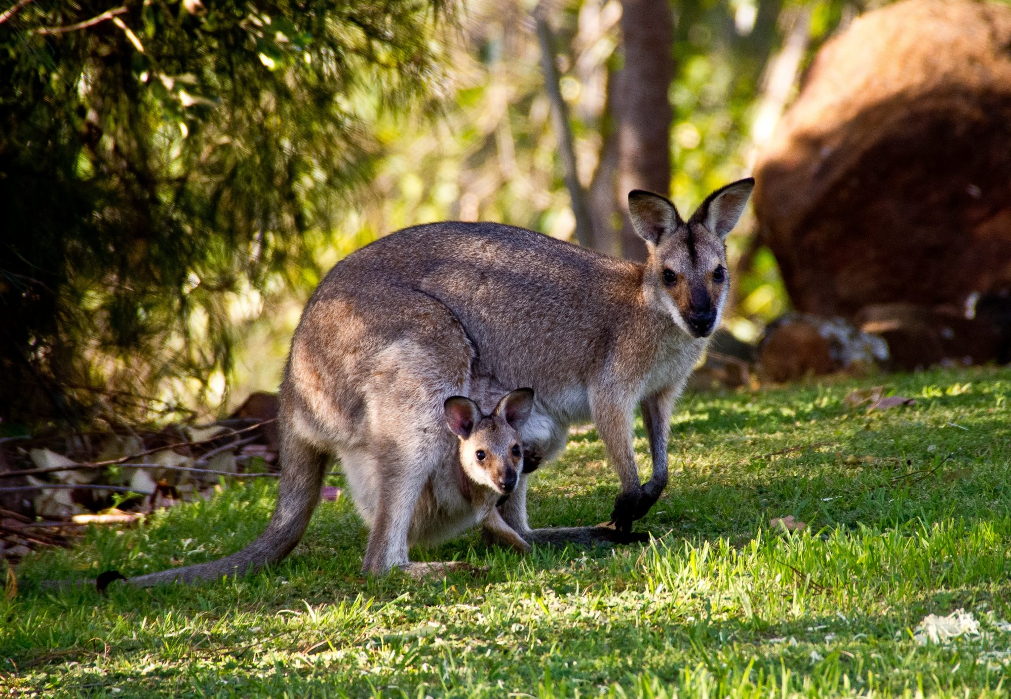 wallabies-australia