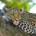Botswana, Leopards